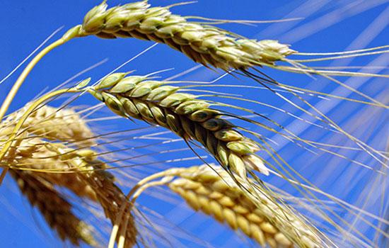 Buon grano e zizzania: una parabola attuale